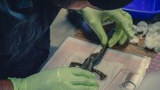 Badania biometryczne salamandry z jeziora Patzcuaro na Uniwersytecie Michoacana
